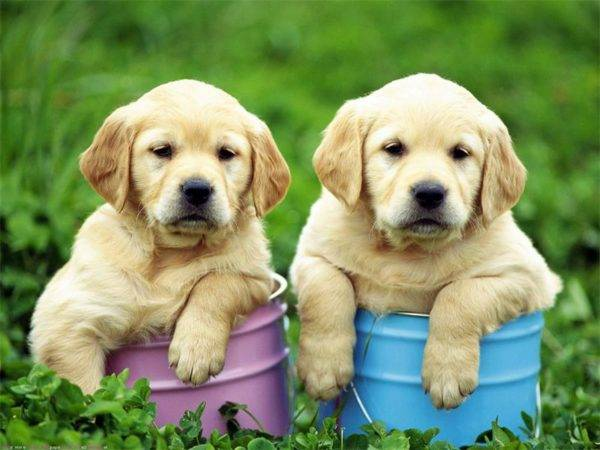 Labrador Retriever Chiots