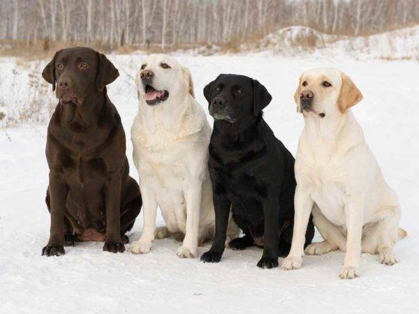 Labrador Retriever Dogs