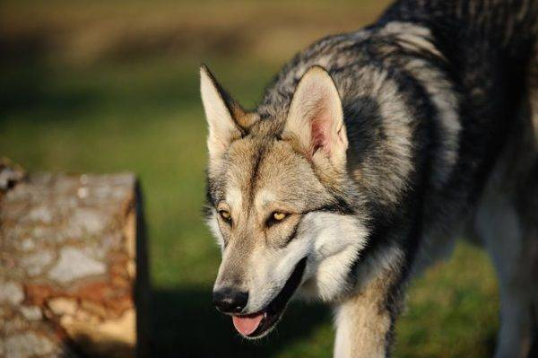 Wolf Dog de Sarlos a lu l'article