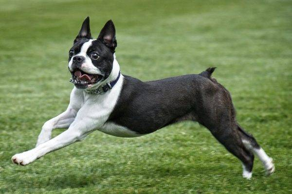 Boston terrier lire l'article