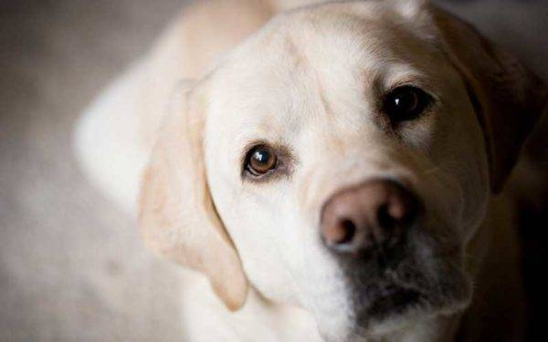 Les traits de Labrador Retrievers