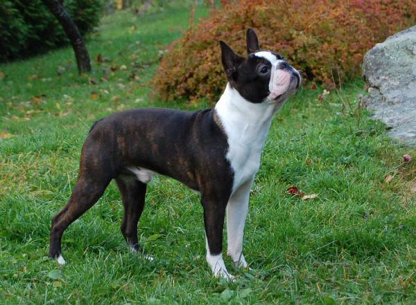 Boston terrier promenades