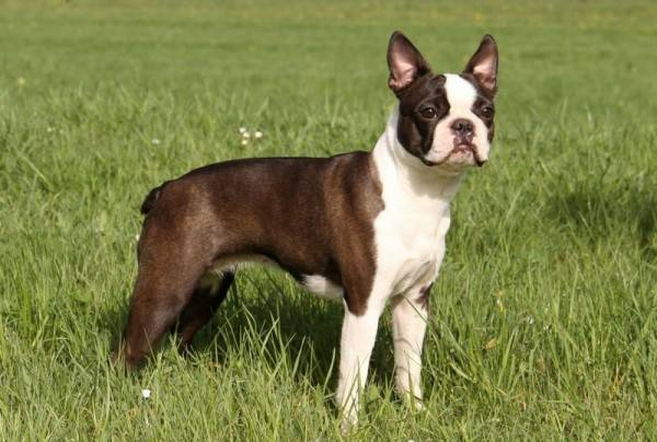 Couleur Boston Terrier Seal