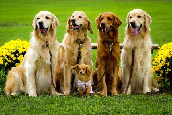 Famille Golden Retriever