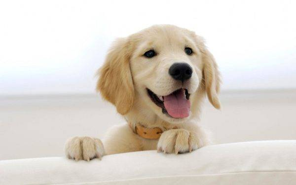 Chiot Golden Retriever